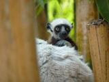 Lemurien de Haja min